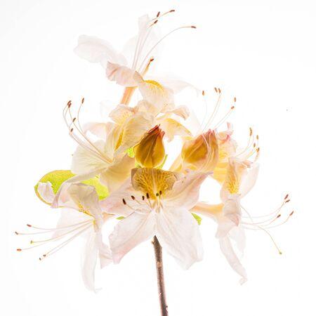 rhododendron flower on the white background Zdjęcie Seryjne