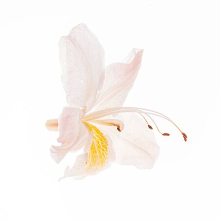 rhododendron flower on the white background Standard-Bild