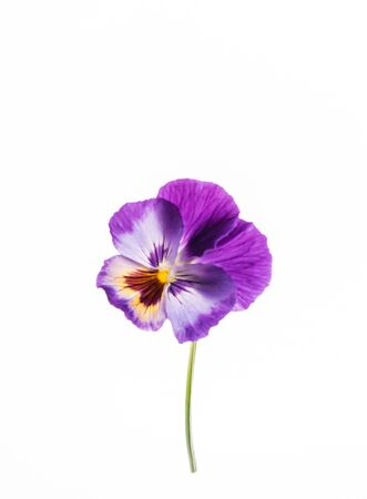 pansy flower on the white background Stok Fotoğraf