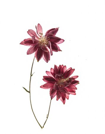 aquilegia flower on the white background 版權商用圖片