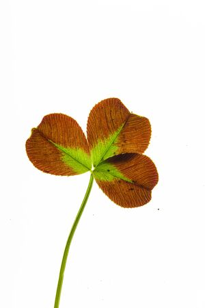 clover leaf on the white background