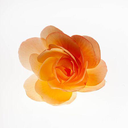 Begonia flower on the white Stock Photo