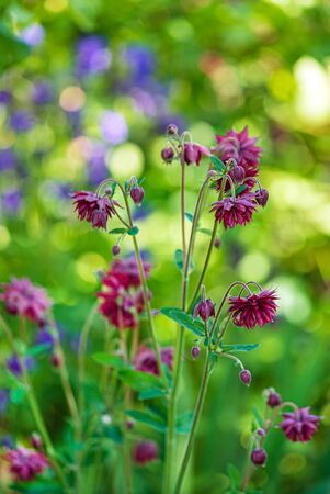 Pink aquilegia vulgaris (Granny Bonnets) flowers in a garden.