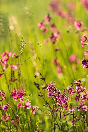 Summer meadow with pink flowers