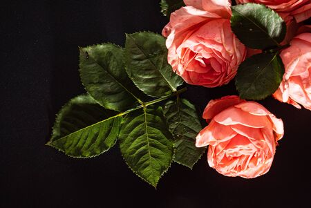 roses on the black background Stock Photo