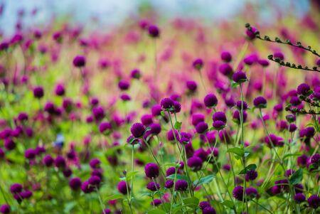 Field of flowering crimson clovers
