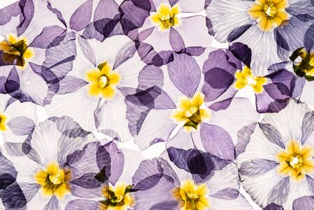 dry primrose flowers