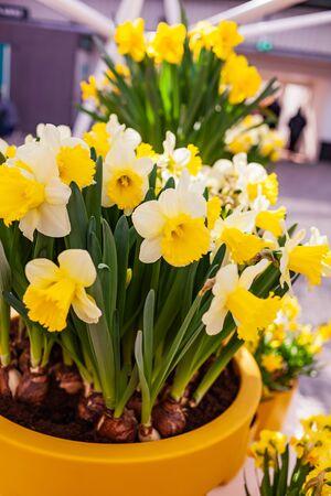 nice narcissus flowers in the pot 版權商用圖片