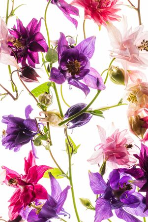 aquilegia flowers on the white background 版權商用圖片 - 128582839