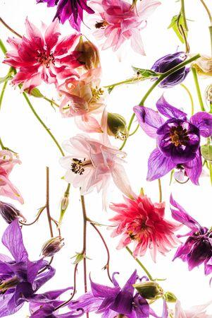 aquilegia flowers on the white background 版權商用圖片 - 128582865