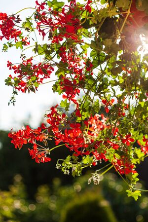 red geranium flower in the pot
