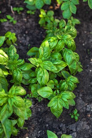 organic basil in the garden