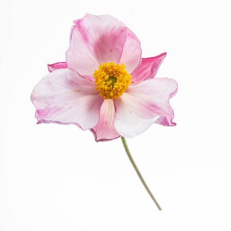 japanese anemone on the white background 写真素材