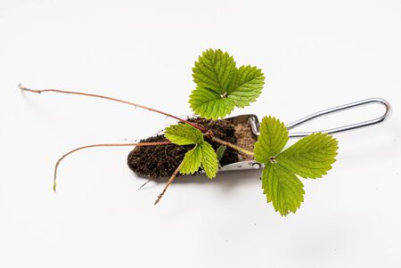 Growing Strawberry Plants in the pot