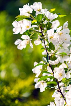 spring pear blossom in the garden