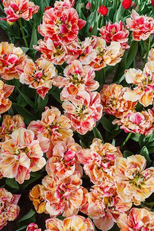 tulips in spring field, macro