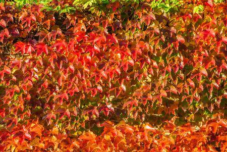 nice wall, red autumn, leaves 版權商用圖片