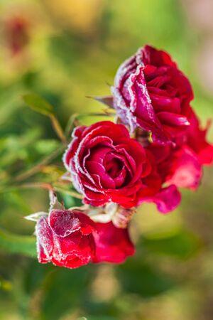 Frost Covering Rose Petals In Garden  Reklamní fotografie