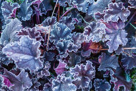 Frost Covering heichera leaves  In Garden