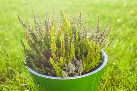 A bunch of freshly cut heather in a pot.
