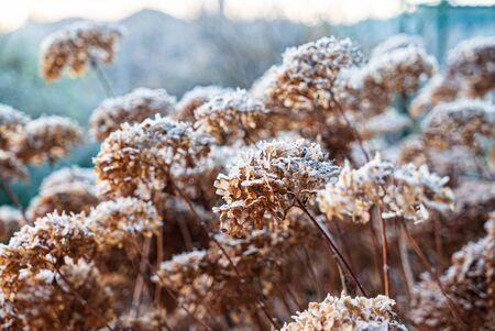 Frozen hydrangea flowers in the garden Zdjęcie Seryjne
