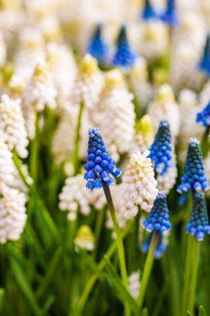 Bright muscari flowers Stock fotó