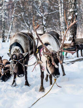 Northern house deer Stock fotó
