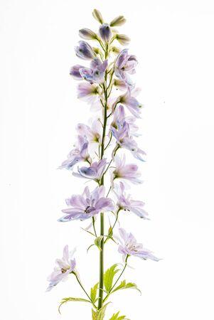 delphinium flowers on the white backgrund