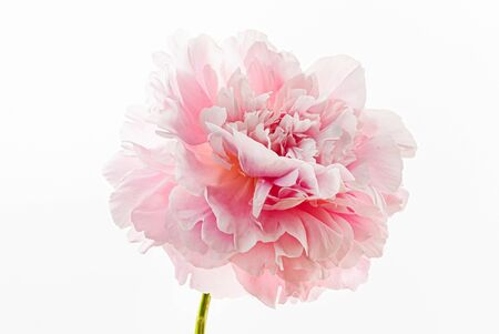 fresh peony flower on the white background