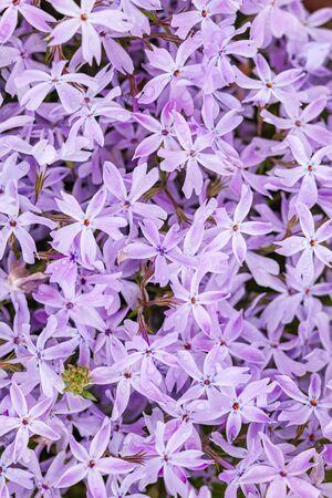 phlox flowers background, summer flowers