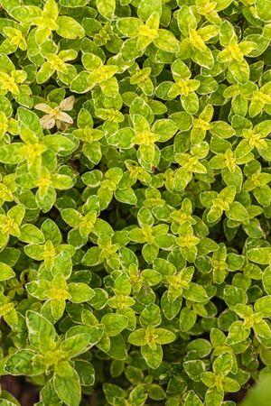oregano herb background, summer plants