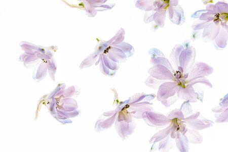 delphinium flowers on the white backgrund Stock fotó