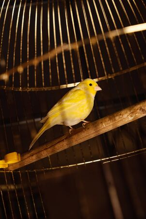 Little Yellow Bird In A Cage Imagens