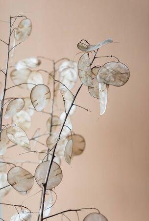 dried lunaria plant in the vase 版權商用圖片