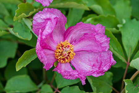 Paeonia daurica in the garden Zdjęcie Seryjne - 150463976