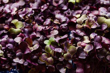 young purple radish plant background Stockfoto