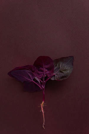 fresh purple orach on the purple background 免版税图像