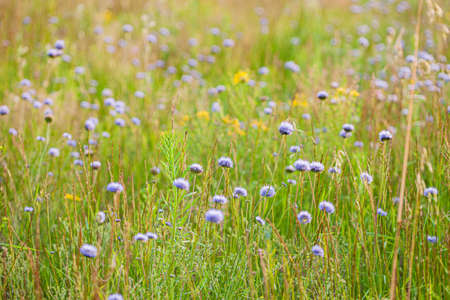 summer field with blue flowers