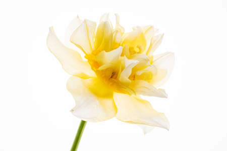 Daffodils in the glass vase Stock Photo
