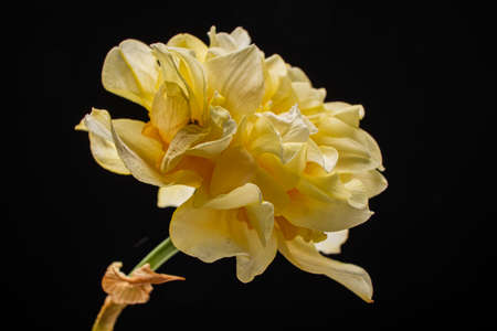 Daffodils in the glass vase