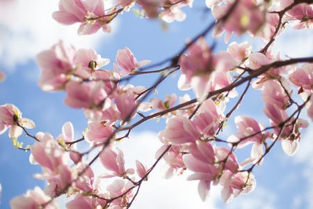 Magnolias Relating to the blue sky