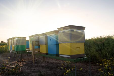 Hives in an apiary with bees flying on the rapeseed field. Apiculture natural honey production. Standard-Bild