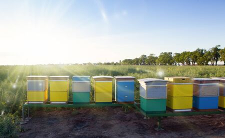 Honey production and bees keeping. Colorful hives on the rapeseed field. Standard-Bild