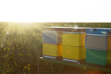 Honey production on the rapeseed field. Colorfull beehives in an apiary.