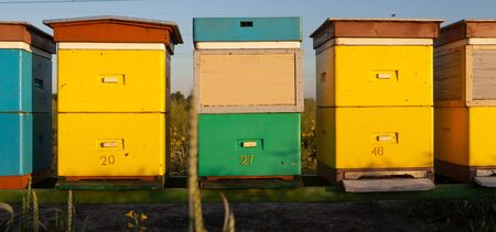 Apiculture natural honey production. Hives in an apiary with bees flying on the rapeseed field. Standard-Bild
