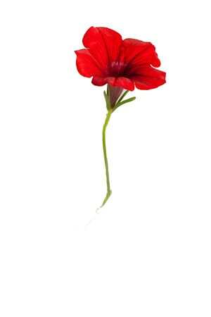 Red flower, bell on white background.