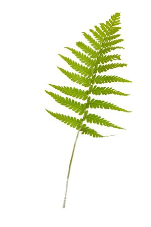 Green leaves fern tropical plant isolated on white backgroun.