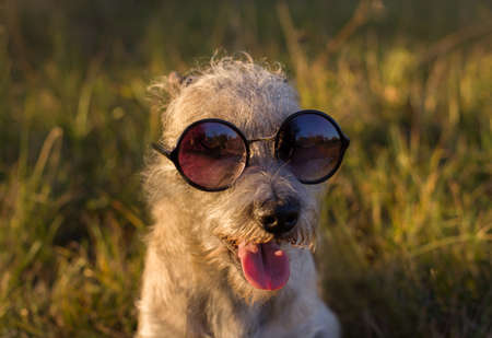 Funny shaggy dog in sunglasses with a tongue.