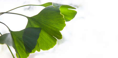 Ginkgo biloba tree branch with leafs against white background.