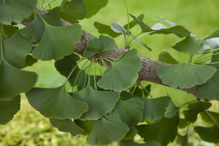 Ginkgo biloba - close up of green leaves.
